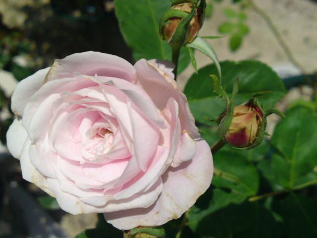 マリーデルマーようやく一番花