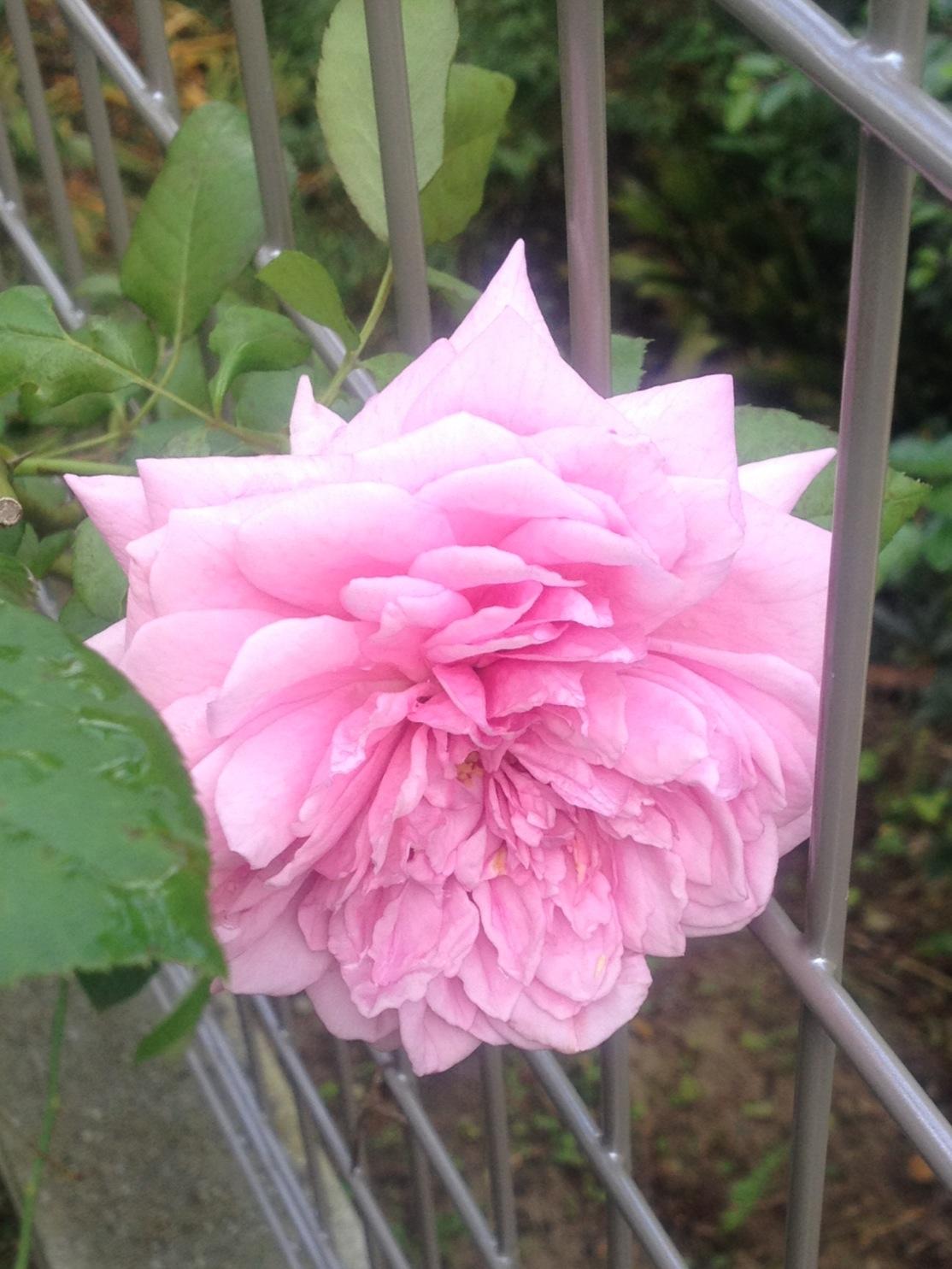 ローズポンパドール咲きました
