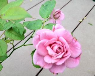 秋のバラが少しずつ…
