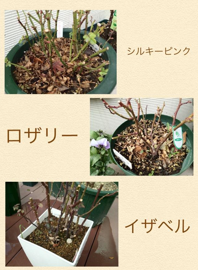 ミニバラの植え替え