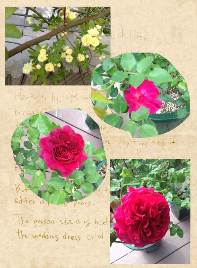 我が家のバラ、二番手、三番手…